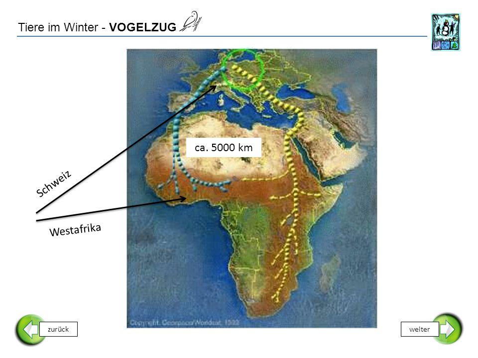 Tiere im Winter - VOGELZUG zurückweiter Schweiz ca. 5000 km Westafrika