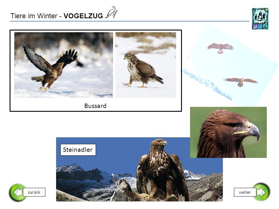 Tiere im Winter - VOGELZUG zurückweiter Bussard Steinadler