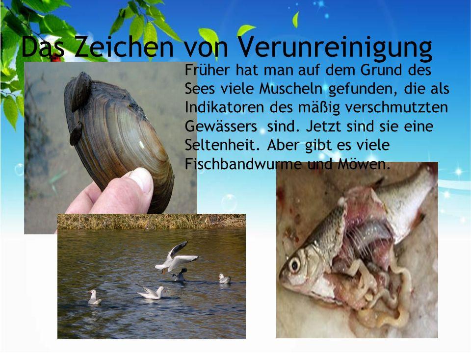 Das Zeichen von Verunreinigung Früher hat man auf dem Grund des Sees viele Muscheln gefunden, die als Indikatoren des mäßig verschmutzten Gewässers sind.