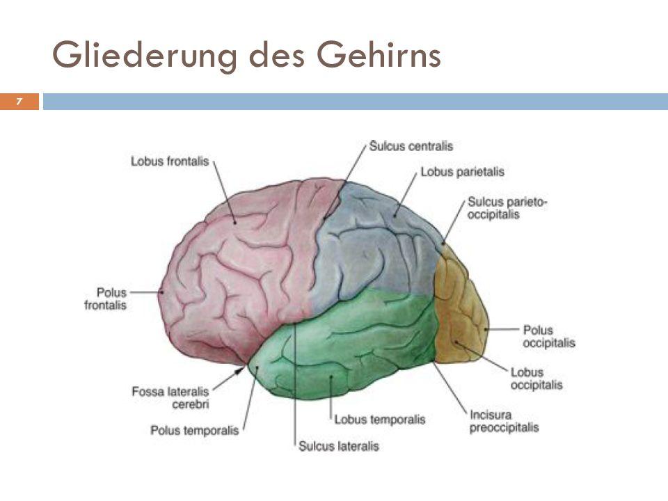 Gliederung des Gehirns 7