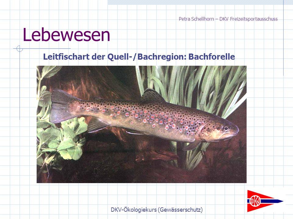 DKV-Ökologiekurs (Gewässerschutz) Lebewesen Leitfischart der Quell-/Bachregion: Bachforelle Petra Schellhorn – DKV Freizeitsportausschuss