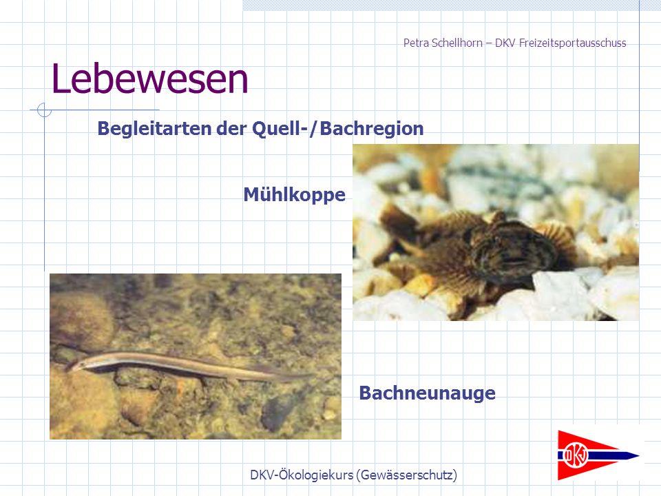 DKV-Ökologiekurs (Gewässerschutz) Lebewesen Begleitarten der Quell-/Bachregion Bachneunauge Mühlkoppe Petra Schellhorn – DKV Freizeitsportausschuss