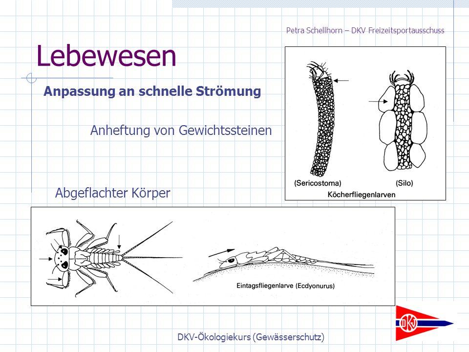 DKV-Ökologiekurs (Gewässerschutz) Lebewesen Anpassung an schnelle Strömung Abgeflachter Körper Anheftung von Gewichtssteinen Petra Schellhorn – DKV Freizeitsportausschuss