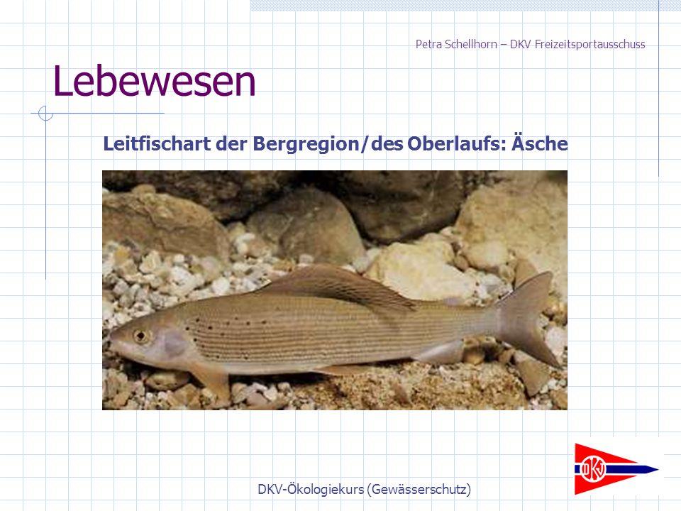 DKV-Ökologiekurs (Gewässerschutz) Lebewesen Leitfischart der Bergregion/des Oberlaufs: Äsche Petra Schellhorn – DKV Freizeitsportausschuss