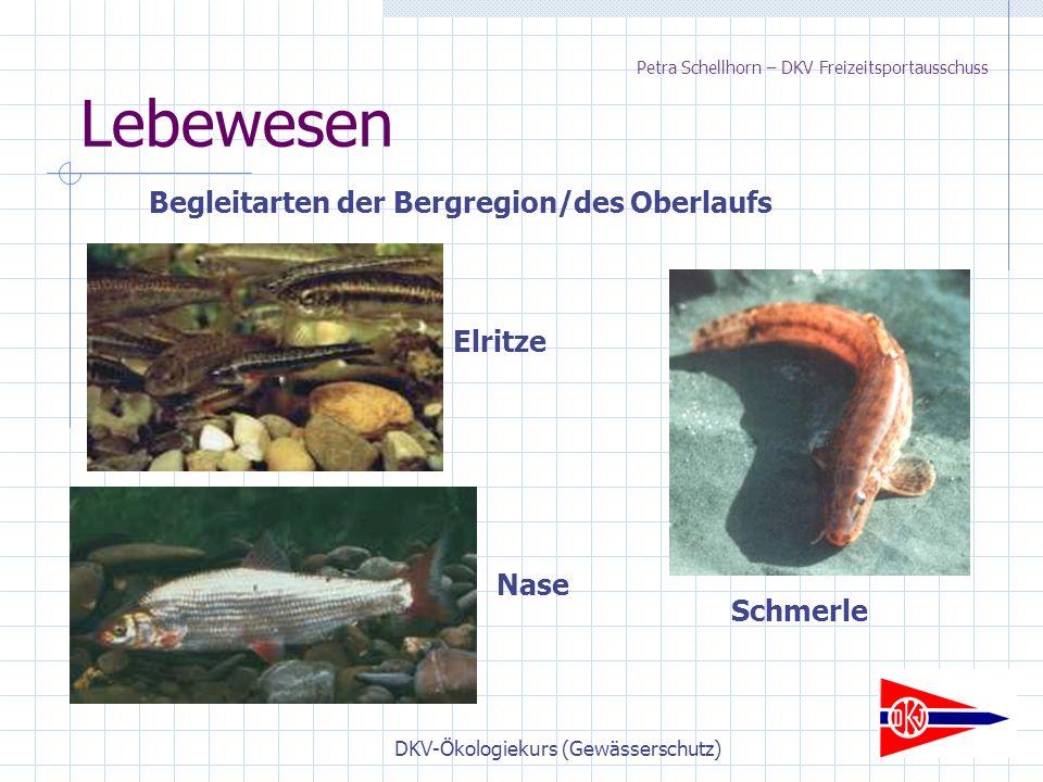 DKV-Ökologiekurs (Gewässerschutz) Lebewesen Begleitarten der Bergregion/des Oberlaufs Elritze Nase Schmerle Petra Schellhorn – DKV Freizeitsportausschuss