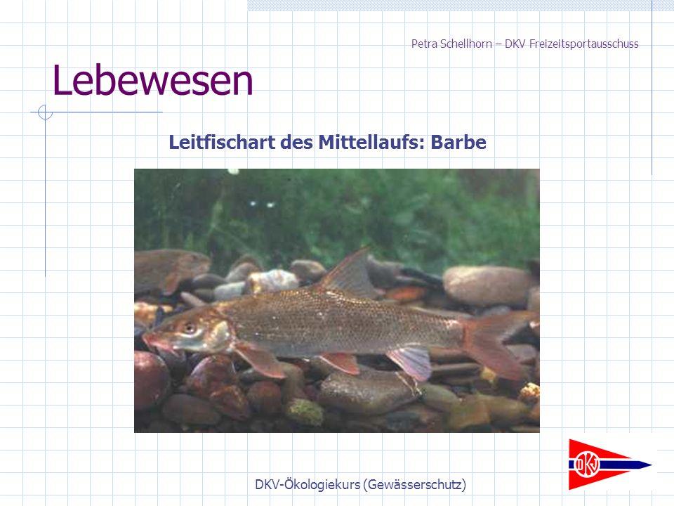 DKV-Ökologiekurs (Gewässerschutz) Lebewesen Leitfischart des Mittellaufs: Barbe Petra Schellhorn – DKV Freizeitsportausschuss