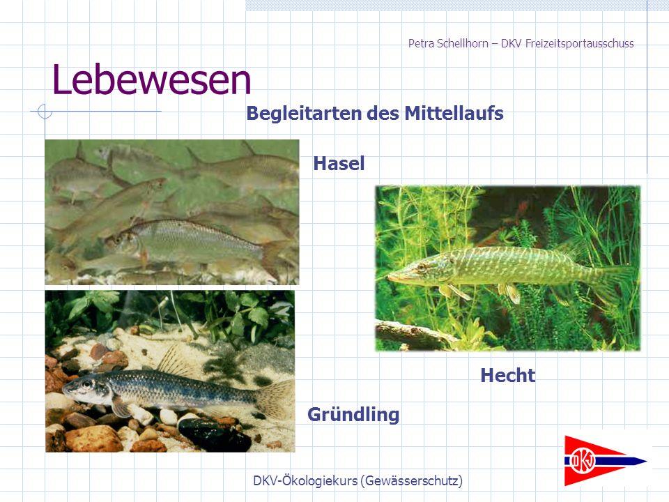 DKV-Ökologiekurs (Gewässerschutz) Lebewesen Begleitarten des Mittellaufs Hasel Gründling Hecht Petra Schellhorn – DKV Freizeitsportausschuss