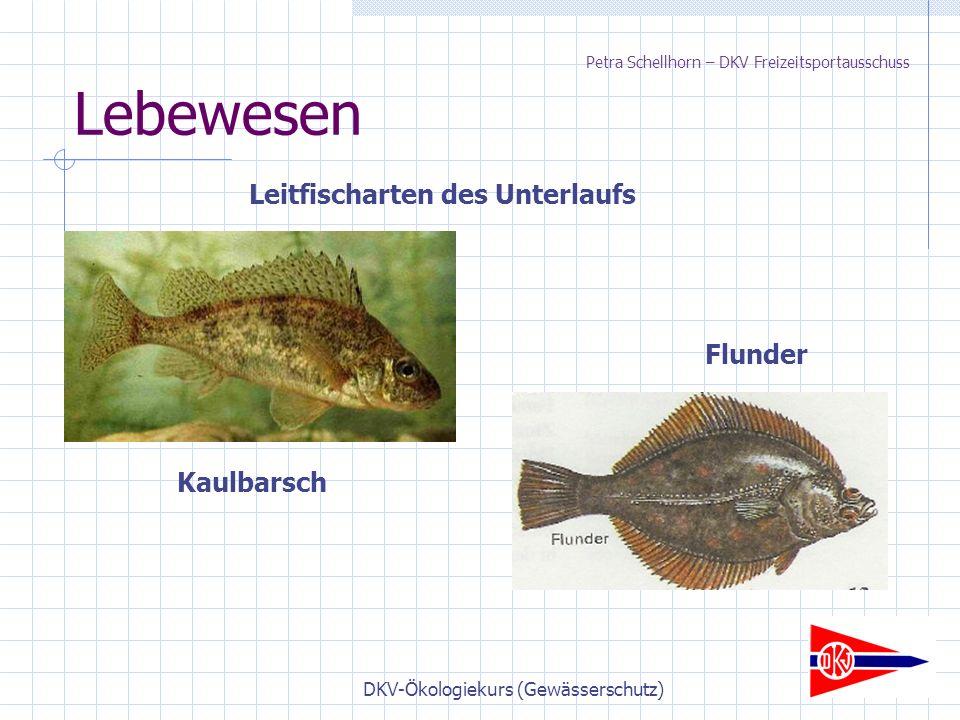 DKV-Ökologiekurs (Gewässerschutz) Lebewesen Leitfischarten des Unterlaufs Flunder Kaulbarsch Petra Schellhorn – DKV Freizeitsportausschuss