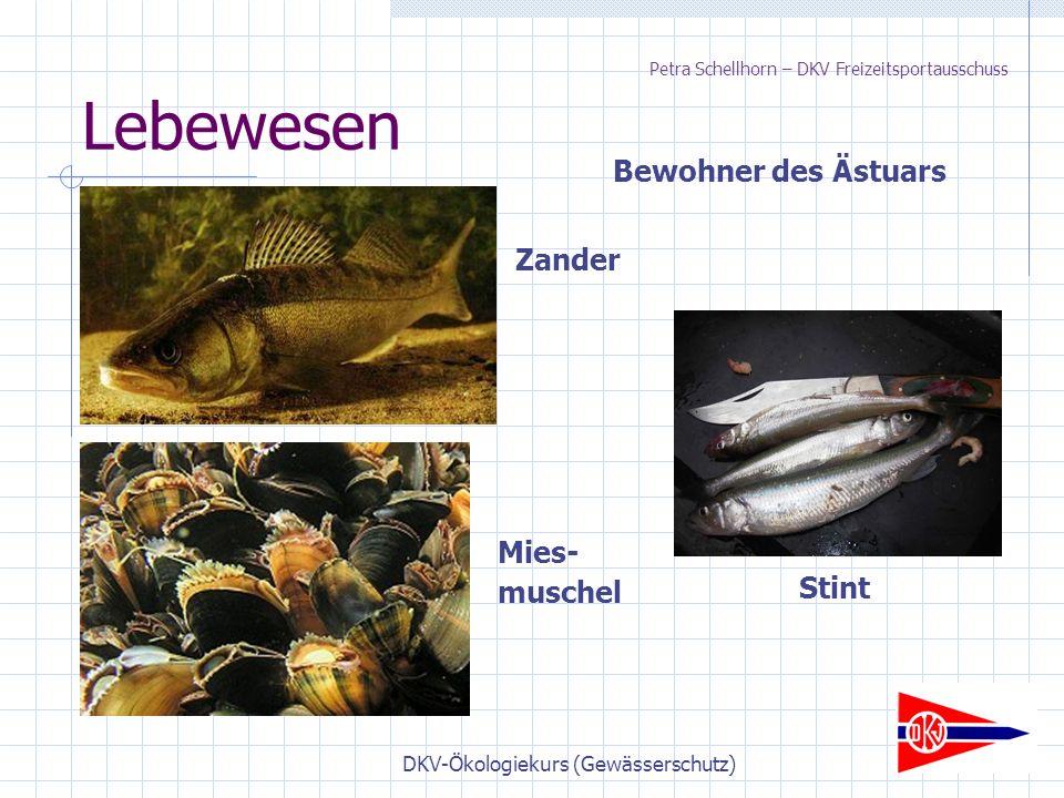 DKV-Ökologiekurs (Gewässerschutz) Lebewesen Bewohner des Ästuars Stint Zander Mies- muschel Petra Schellhorn – DKV Freizeitsportausschuss