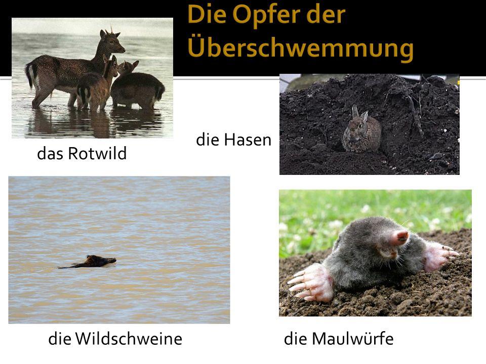 das Rotwild die Hasen die Maulwürfedie Wildschweine