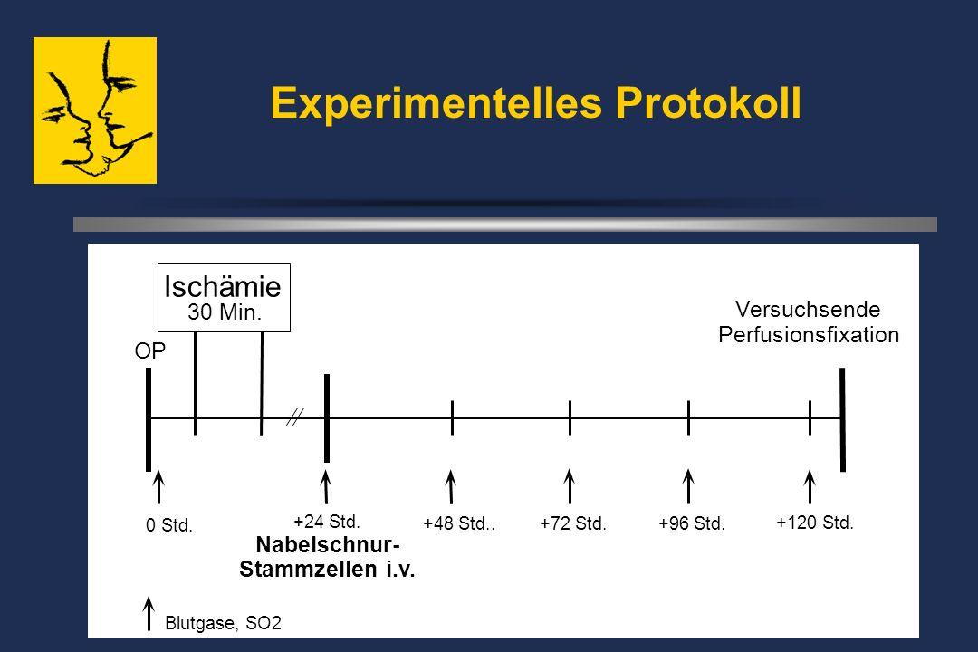 Experimentelles Protokoll OP 0 Std. +24 Std. Nabelschnur- Stammzellen i.v.