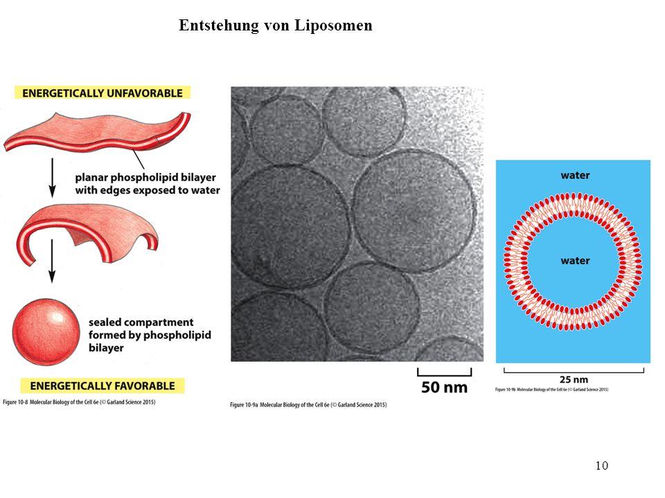 Entstehung von Liposomen 10