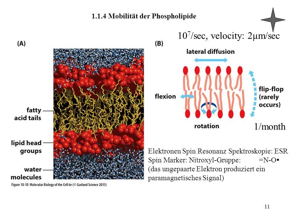 1.1.4 Mobilität der Phospholipide 11 1/month 10 7 /sec, velocity: 2µm/sec Elektronen Spin Resonanz Spektroskopie: ESR Spin Marker: Nitroxyl-Gruppe: =N