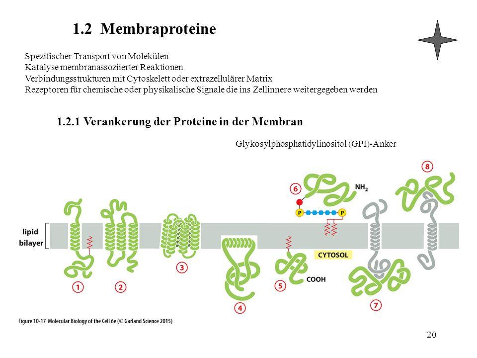 1.2.1 Verankerung der Proteine in der Membran 1.2 Membraproteine 20 Spezifischer Transport von Molekülen Katalyse membranassoziierter Reaktionen Verbindungsstrukturen mit Cytoskelett oder extrazellulärer Matrix Rezeptoren für chemische oder physikalische Signale die ins Zellinnere weitergegeben werden Glykosylphosphatidylinositol (GPI)-Anker