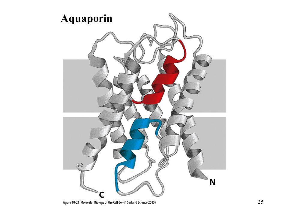 Aquaporin 25