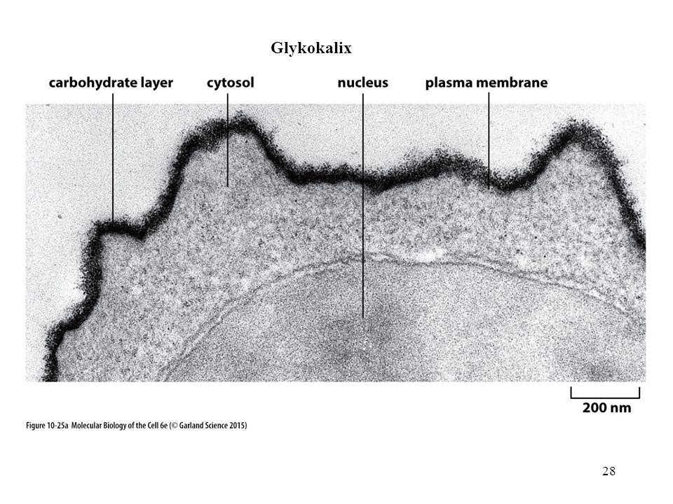 Glykokalix 28