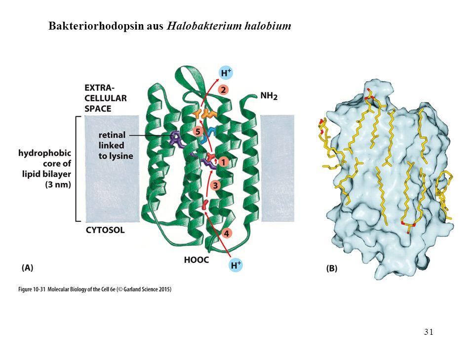Bakteriorhodopsin aus Halobakterium halobium 31
