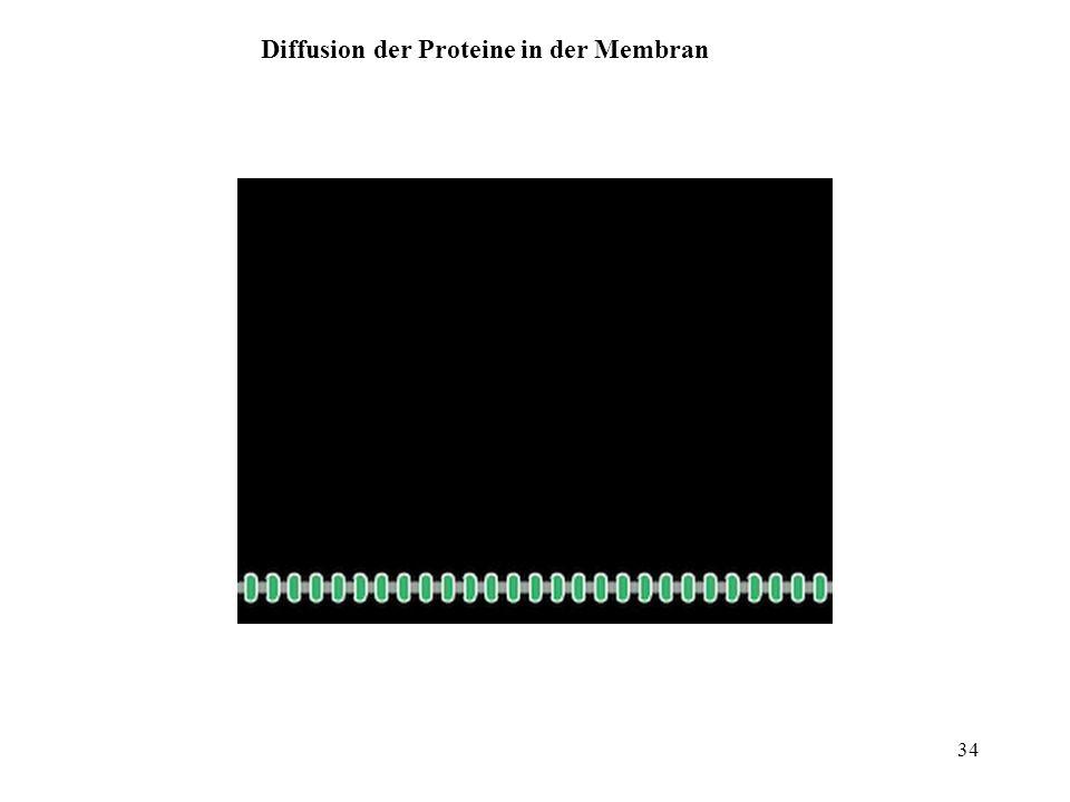 34 Diffusion der Proteine in der Membran