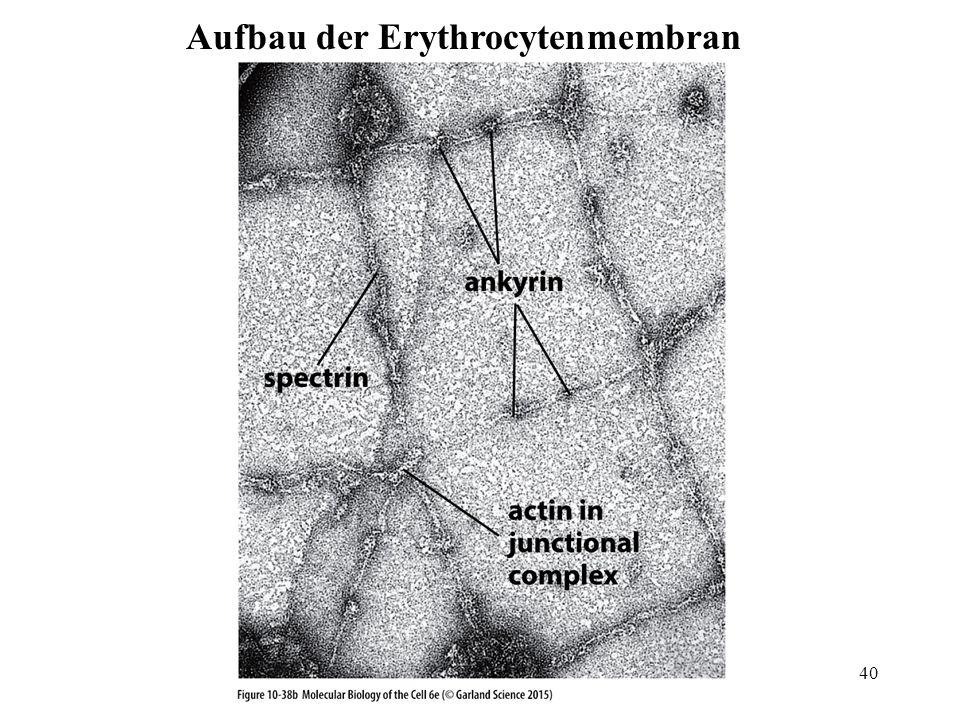 Aufbau der Erythrocytenmembran 40