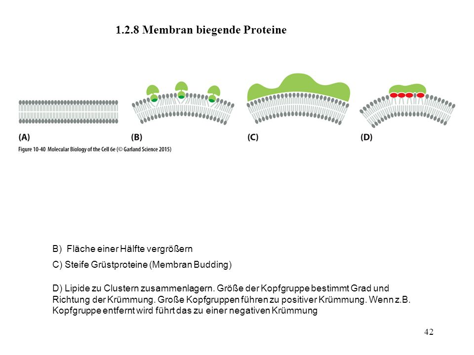 42 1.2.8 Membran biegende Proteine B) Fläche einer Hälfte vergrößern C) Steife Grüstproteine (Membran Budding) D) Lipide zu Clustern zusammenlagern. G