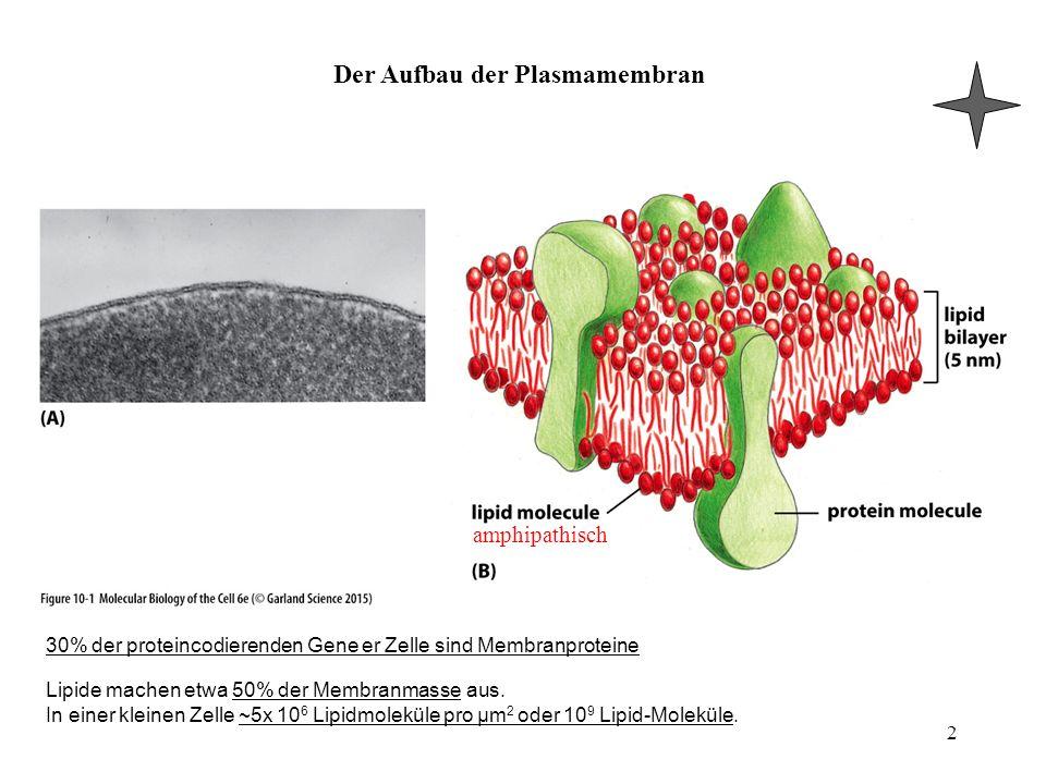Der Aufbau der Plasmamembran 2 amphipathisch 30% der proteincodierenden Gene er Zelle sind Membranproteine Lipide machen etwa 50% der Membranmasse aus