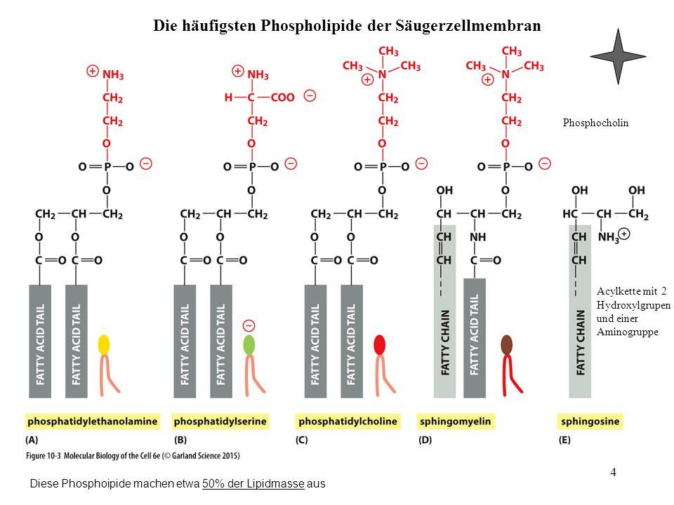 Die häufigsten Phospholipide der Säugerzellmembran 4 Acylkette mit 2 Hydroxylgrupen und einer Aminogruppe Phosphocholin Diese Phosphoipide machen etwa
