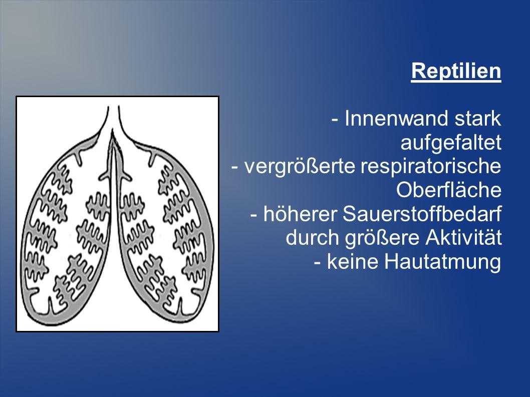 Reptilien - Innenwand stark aufgefaltet - vergrößerte respiratorische Oberfläche - höherer Sauerstoffbedarf durch größere Aktivität - keine Hautatmung