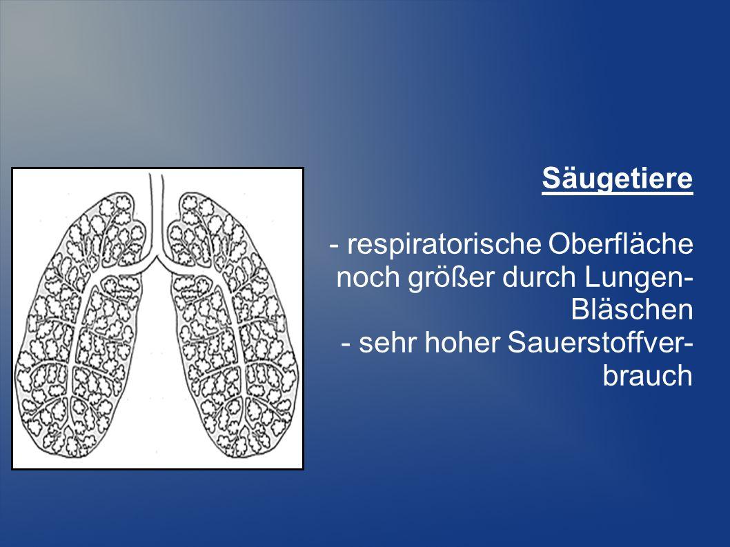 Säugetiere - respiratorische Oberfläche noch größer durch Lungen- Bläschen - sehr hoher Sauerstoffver- brauch