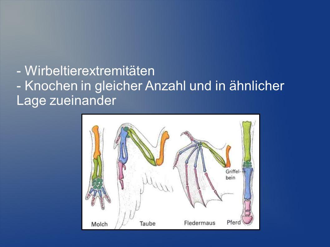 - Wirbeltierextremitäten - Knochen in gleicher Anzahl und in ähnlicher Lage zueinander