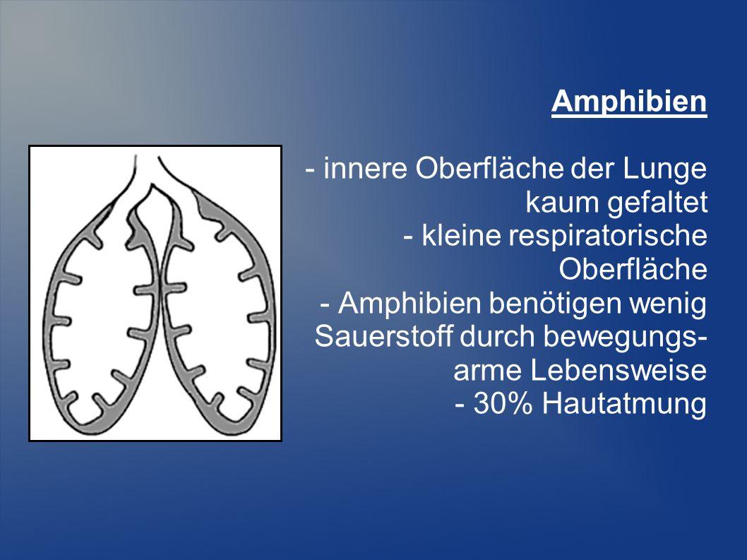 Amphibien - innere Oberfläche der Lunge kaum gefaltet - kleine respiratorische Oberfläche - Amphibien benötigen wenig Sauerstoff durch bewegungs- arme Lebensweise - 30% Hautatmung