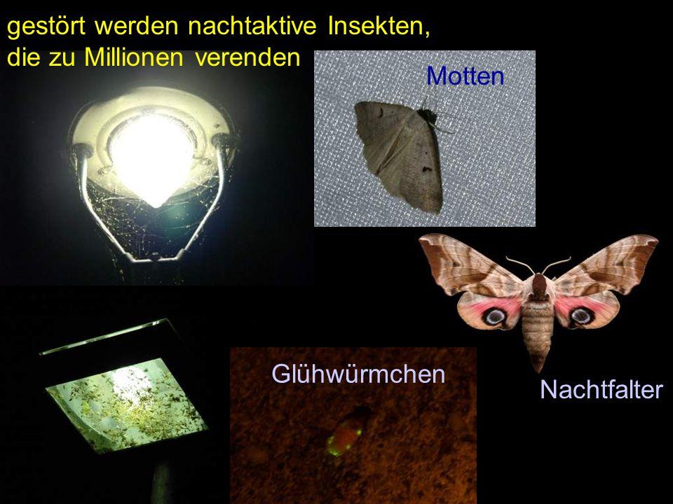 Mottengestört werden nachtaktive Insekten, die zu Millionen verenden Glühwürmchen Nachtfalter