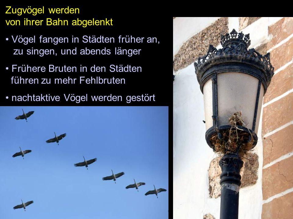 Zugvögel werden von ihrer Bahn abgelenkt Vögel fangen in Städten früher an, zu singen, und abends länger Frühere Bruten in den Städten führen zu mehr Fehlbruten nachtaktive Vögel werden gestört