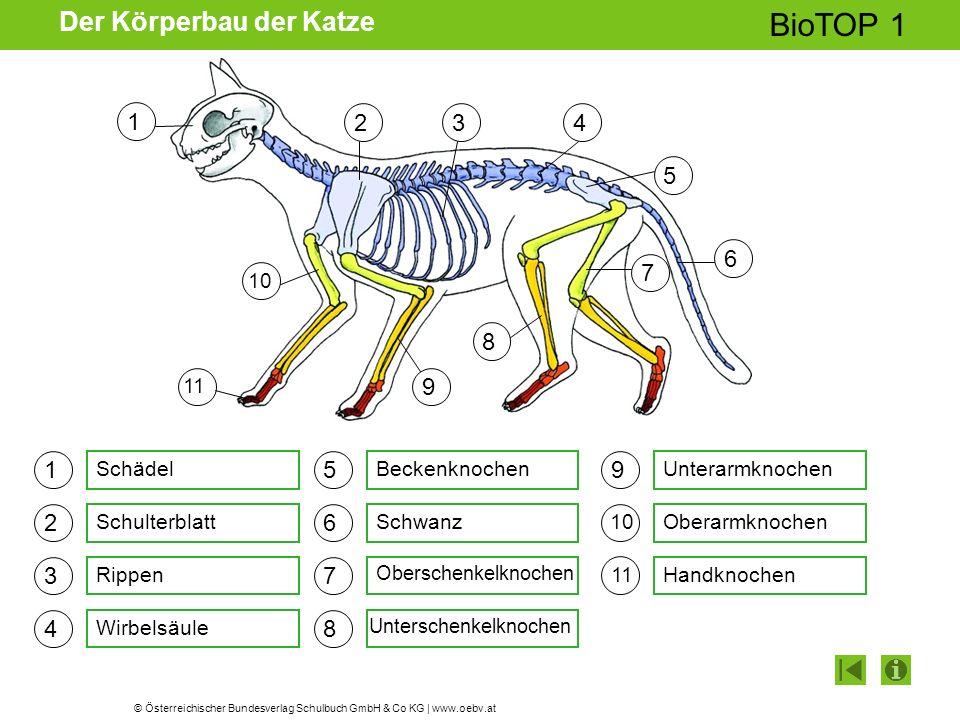 © Österreichischer Bundesverlag Schulbuch GmbH & Co KG | www.oebv.at BioTOP 1 Der Körperbau der Katze 1 2 3 4 5 6 7 8 9 Schädel Schulterblatt Rippen W