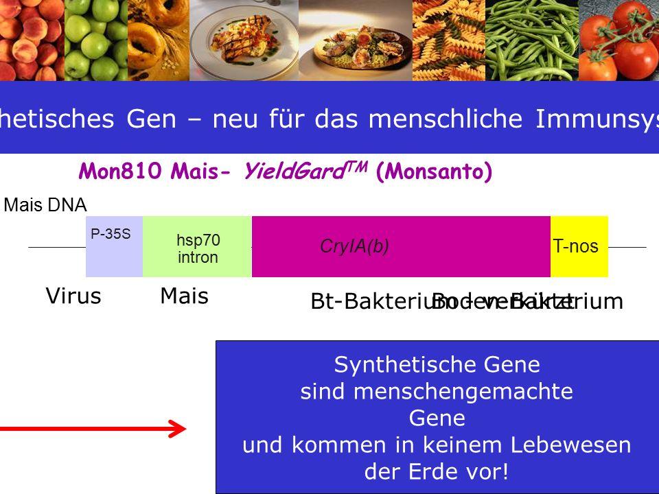 25 Mon810 Mais- YieldGard TM (Monsanto) Mais DNA P-35S hsp70 intron CryIA(b) Virus Bt-Bakterium - verkürztBoden-Bakterium T-nos Mais Synthetisches Gen – neu für das menschliche Immunsystem Synthetische Gene sind menschengemachte Gene und kommen in keinem Lebewesen der Erde vor!