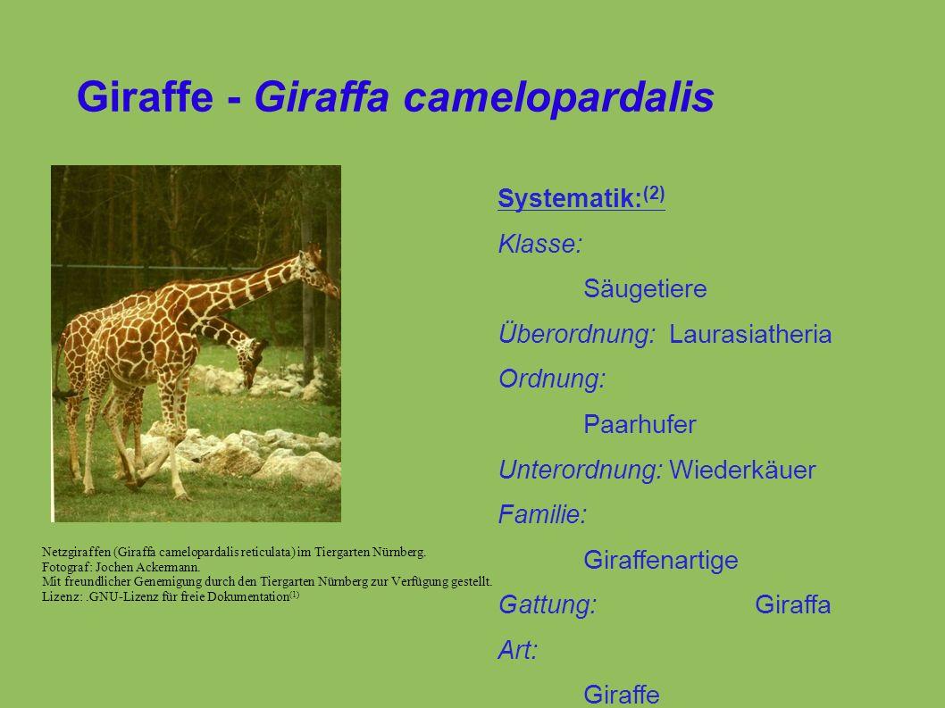 Giraffe - Giraffa camelopardalis Netzgiraffen (Giraffa camelopardalis reticulata) im Tiergarten Nürnberg.
