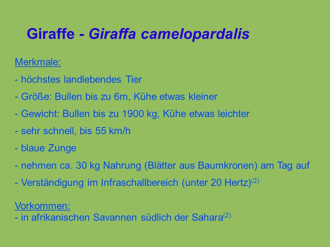 Giraffe - Giraffa camelopardalis Merkmale: - höchstes landlebendes Tier - Größe: Bullen bis zu 6m, Kühe etwas kleiner - Gewicht: Bullen bis zu 1900 kg, Kühe etwas leichter - sehr schnell, bis 55 km/h - blaue Zunge - nehmen ca.
