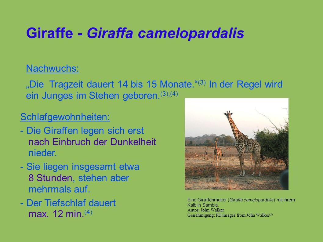 """Giraffe - Giraffa camelopardalis Nachwuchs: """"Die Tragzeit dauert 14 bis 15 Monate. (3) In der Regel wird ein Junges im Stehen geboren."""