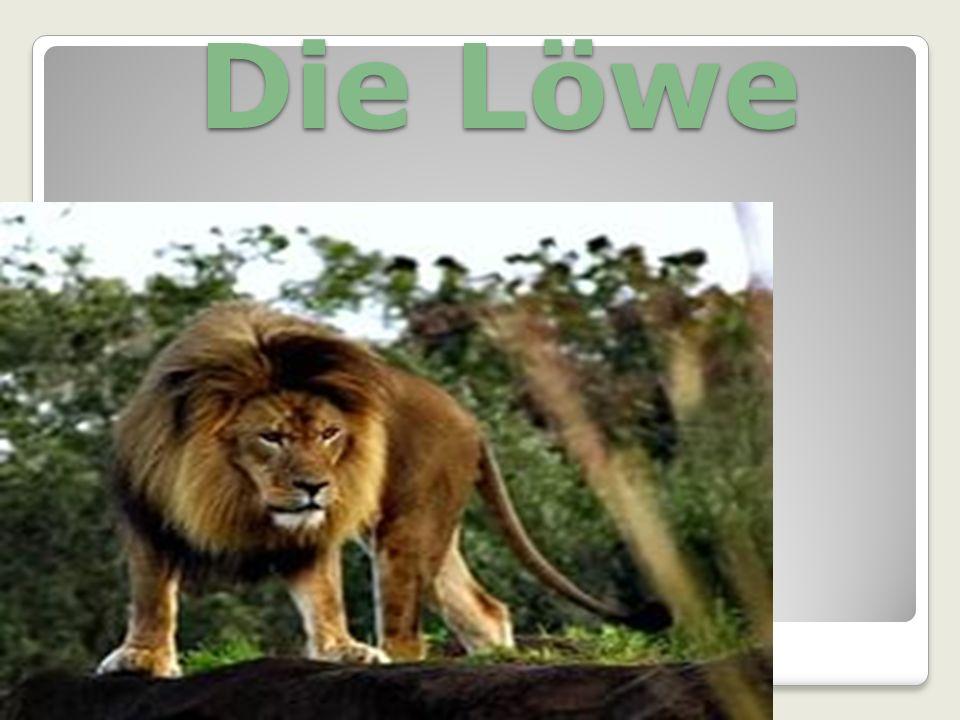 Die Löwe