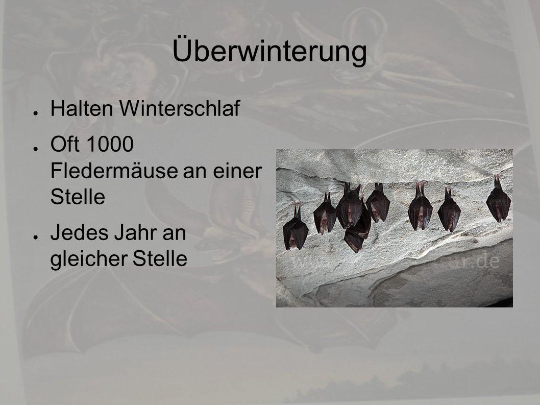 Überwinterung ● Halten Winterschlaf ● Oft 1000 Fledermäuse an einer Stelle ● Jedes Jahr an gleicher Stelle