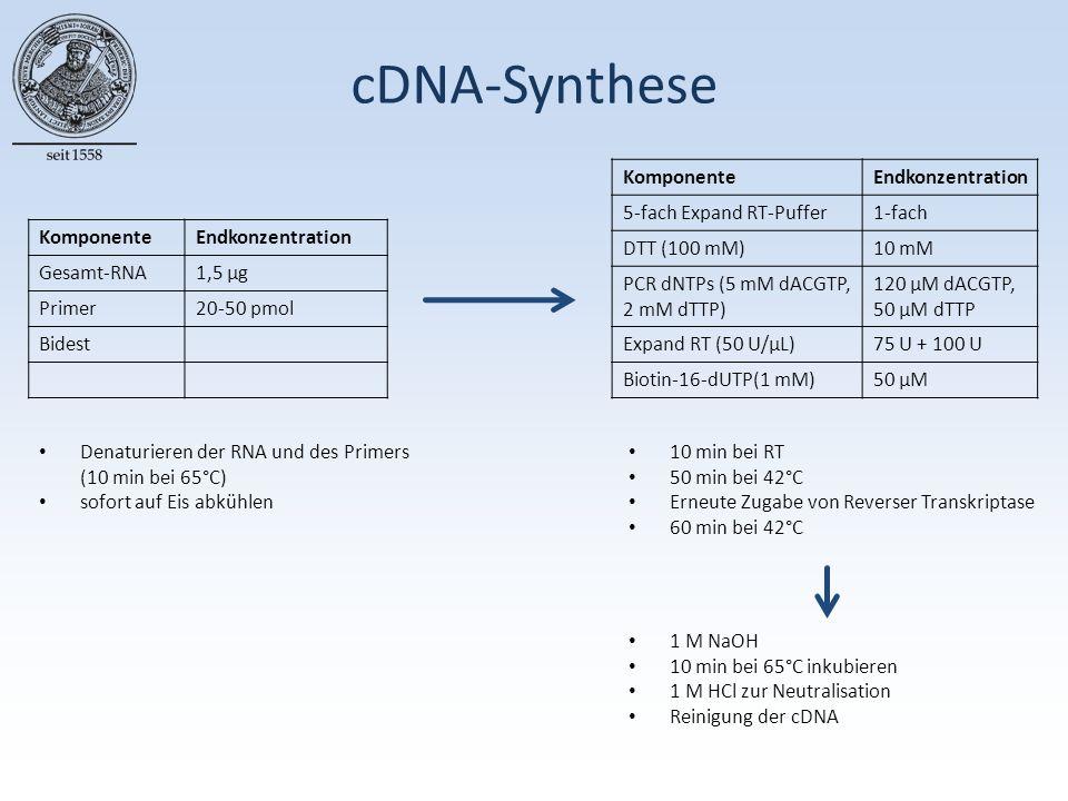 cDNA-Synthese KomponenteEndkonzentration Gesamt-RNA1,5 µg Primer20-50 pmol Bidest KomponenteEndkonzentration 5-fach Expand RT-Puffer1-fach DTT (100 mM)10 mM PCR dNTPs (5 mM dACGTP, 2 mM dTTP) 120 µM dACGTP, 50 µM dTTP Expand RT (50 U/µL)75 U + 100 U Biotin-16-dUTP(1 mM)50 µM Denaturieren der RNA und des Primers (10 min bei 65°C) sofort auf Eis abkühlen 1 M NaOH 10 min bei 65°C inkubieren 1 M HCl zur Neutralisation Reinigung der cDNA 10 min bei RT 50 min bei 42°C Erneute Zugabe von Reverser Transkriptase 60 min bei 42°C