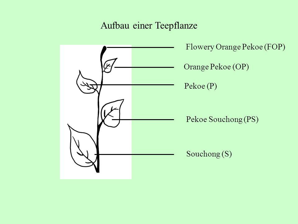 Aufbau einer Teepflanze Flowery Orange Pekoe (FOP) Orange Pekoe (OP) Pekoe (P) Pekoe Souchong (PS) Souchong (S)
