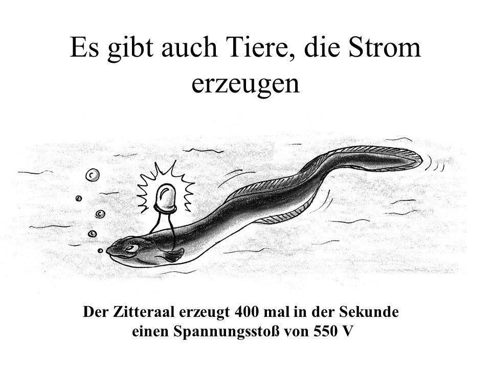 Es gibt auch Tiere, die Strom erzeugen Der Zitteraal erzeugt 400 mal in der Sekunde einen Spannungsstoß von 550 V