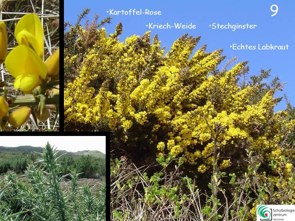 8 8 Strand-Grasnelke Besenheide Glocken-Heide Glockenblume