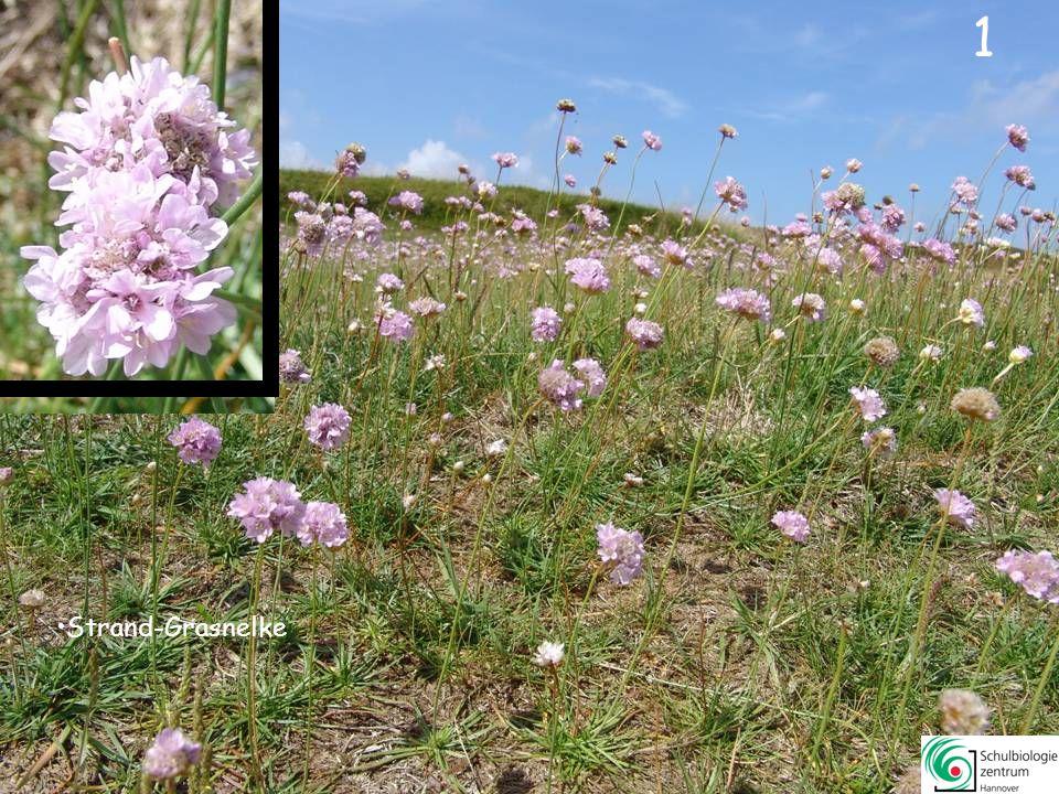 0 Kennst Du Dich aus mit Blütenpflanzen an der Nordsee? Klick dich durch Pflanzen in (älteren) Graudünen, Heide und Marschen Wie viele Pflanzen kannst