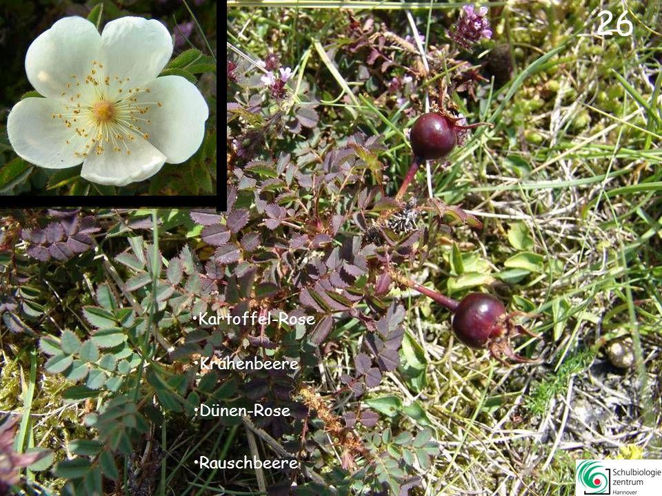25 Glockenblume Taubenkropf-Leimkraut Glocken-Heide Sandglöckchen