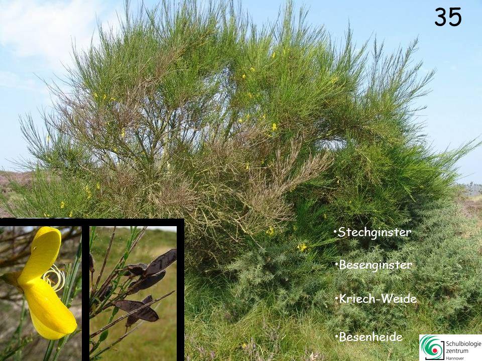 34 Roter Zahntrost Glocken-Heide Schmalblättriges Weidenröschen Dünen-Rose