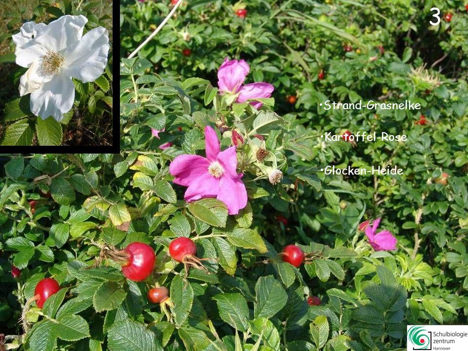 3 3 Strand-Grasnelke Kartoffel-Rose Glocken-Heide