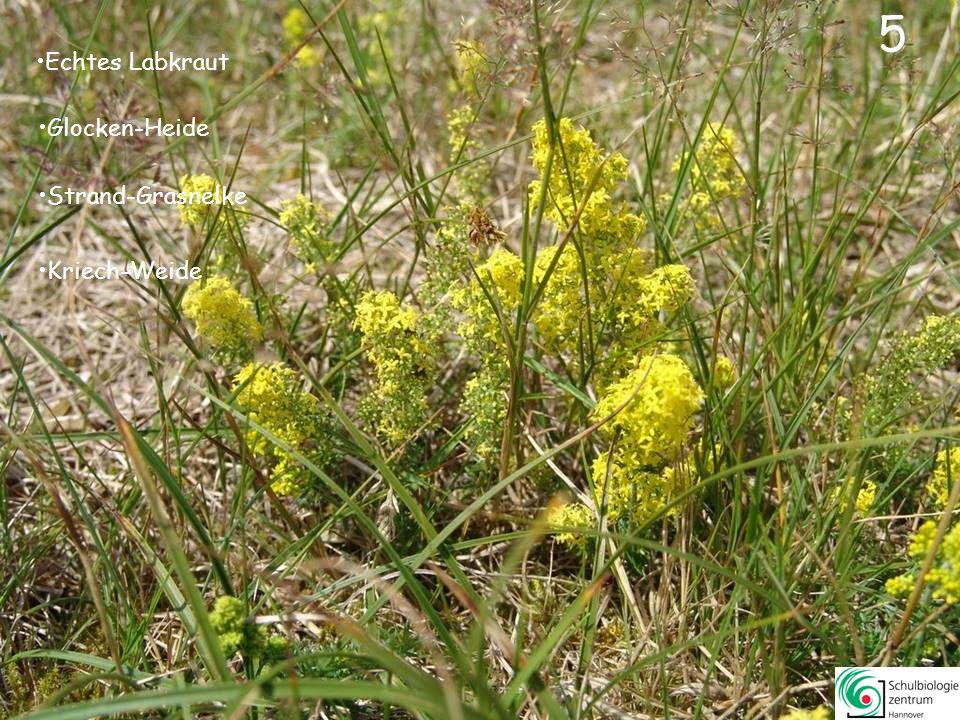 5 5 Echtes Labkraut Glocken-Heide Strand-Grasnelke Kriech-Weide