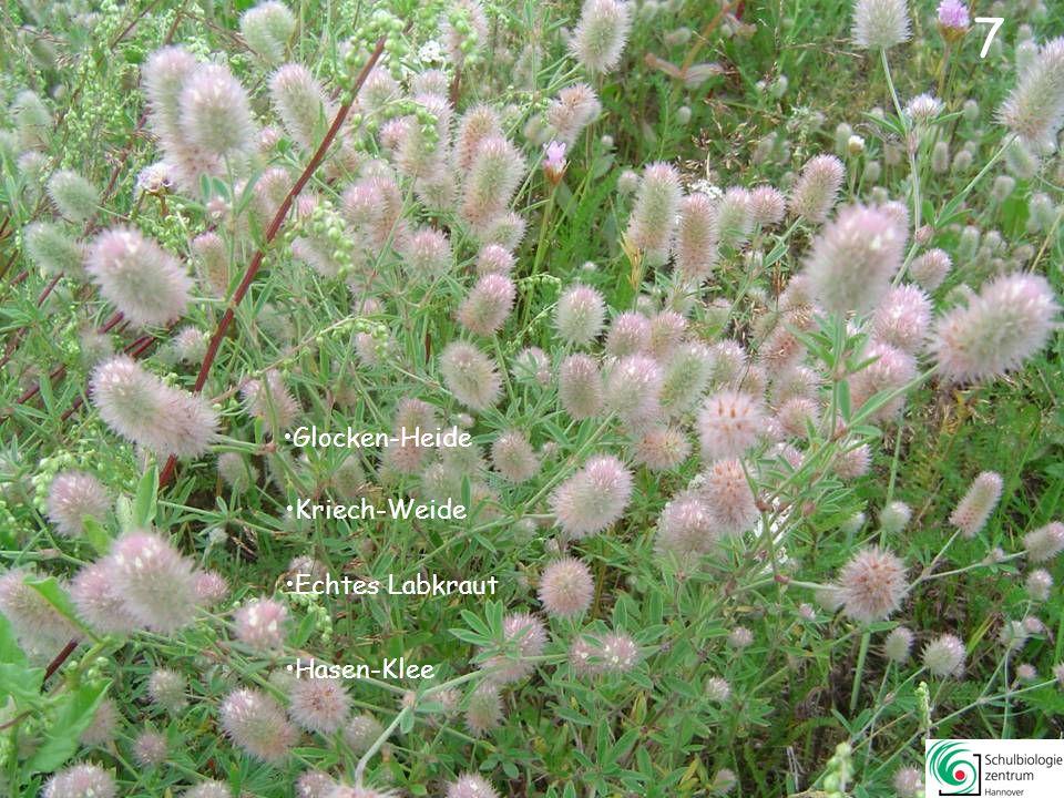 7 7 Glocken-Heide Kriech-Weide Echtes Labkraut Hasen-Klee