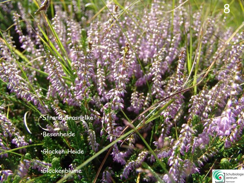 38 Roter Zahntrost Sumpf-Ziest Schmalblättriges Weidenröschen Klappertopf